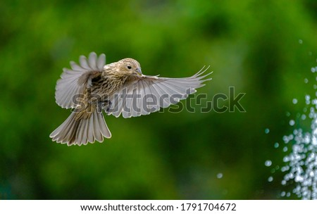 Female House Finch Landing Near Fountain with Wings Spread Royalty-Free Stock Photo #1791704672