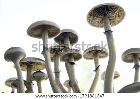 Psilocybin cubensis mushroom. Medical research of psilocybin . Growing Albino A strain. Magic shroom. Fresh Psilocybin shroom. Royalty-Free Stock Photo #1791861347