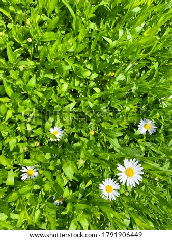 Beautiful flowering of daisies (Oxeye daisy, Leucanthemum vulgare, Daisies, Dox-eye, Common daisy, Dog daisy, Moon daisy) with green background #1791906449