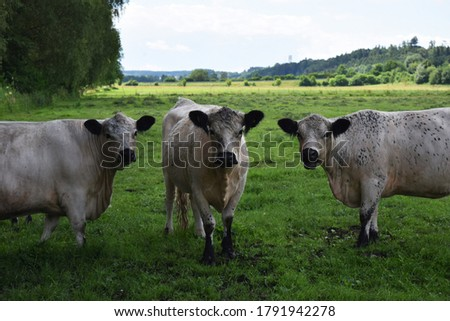 Three cows on the green grass photo.