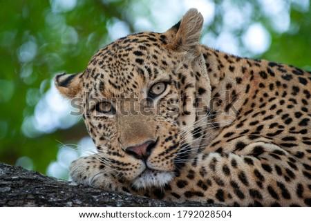 A wild Leopard portrait taken on an open vehicle wildlife safari in South Africa