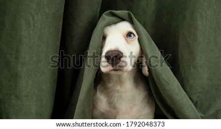 scared or afraid puppy dog hide with a curtain.  #1792048373