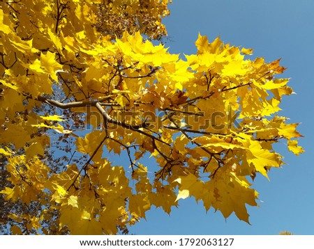 A maple branch with yellow autumn leaves against a blue sky. Acer platanoides. #1792063127