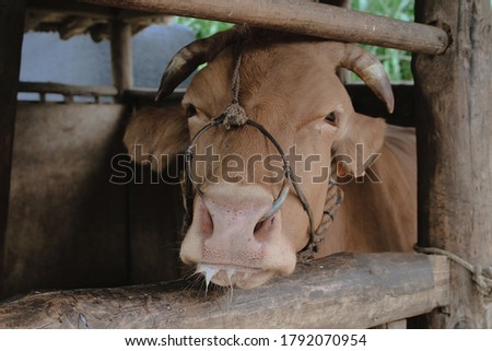 This picture is 'cow' in the an outer barn.