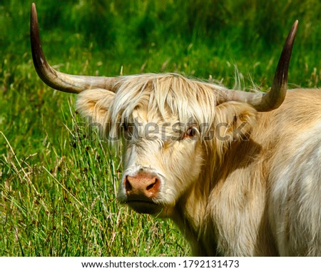Highland Cattle outside Aberfoyle Scotland #1792131473