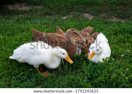 Ducks on the green grass. Ducks graze on the field. Domestic ducks eat green grass. Ducks sit in green grass.