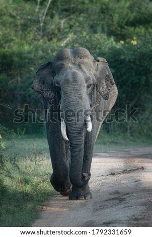 Tusker elephant in Yala National Park, Sri Lanka #1792331659