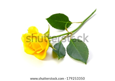 Yellow Rose-Rosa sp., This image is available for clipping work.