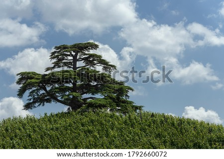 A cedar of lebanon in the vineyards under a blue sky with clouds. Langhe hills (Piedmont, Italy) Royalty-Free Stock Photo #1792660072