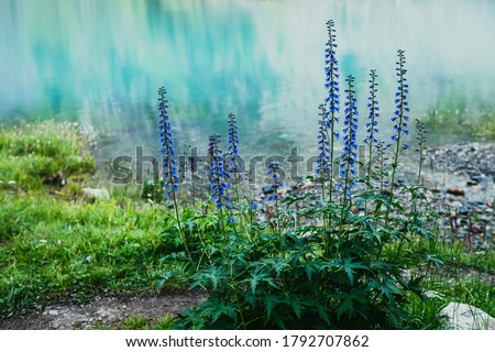 Many amazing blue flowers of larkspur grows on shore of mountain lake with clear azure water. Scenic nature background with beautiful larkspur flowers closeup on lake with turquoise smooth water. #1792707862