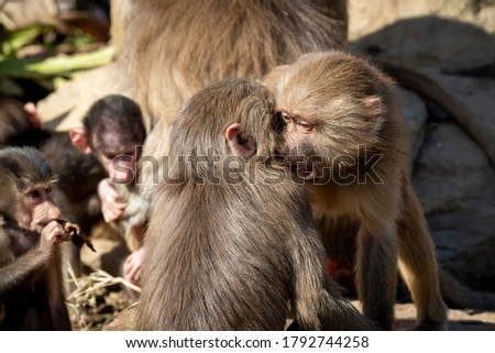 Two adolescent Hamadryas Baboons playfully fighting