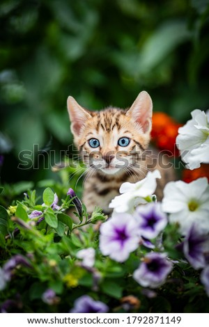 An adorable cute kitten among summer flowers. Purebred Bengal kitten with petunia. The little cat is 7 weeks old and is playing hide and seek outdoors in the garden. Royalty-Free Stock Photo #1792871149