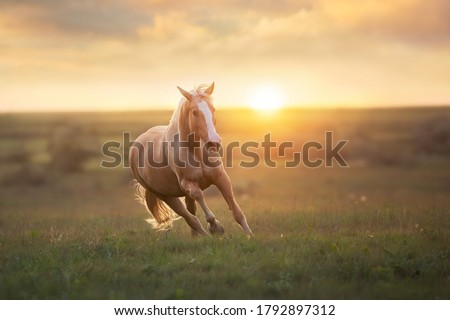 Palomino horse run gallop in meadow at sunset light #1792897312