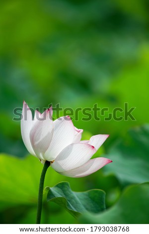 Close-up of a lovely lotus flower blooming among green leaves with pinkish white venous petals appearing translucent under bright summer sunlight (vertical framing, shallow focus & blur background)