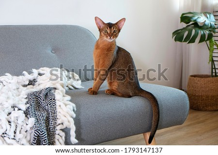 Abyssinian cat at home with her owner at home. Beautiful purebred short haired kitten. Close up, copy space, background. Royalty-Free Stock Photo #1793147137