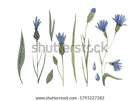 Watercolor cornflower set with green leaves on a white isolated background. Cute hand drawn botanical illustration for spa saloons, decor, postcard and invitation. clip art