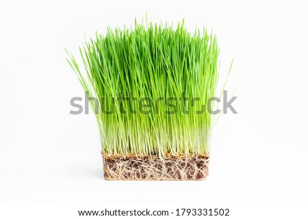 Close up barley grass on white.Food and drink concepts Royalty-Free Stock Photo #1793331502
