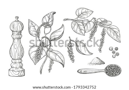 Black pepper vector illustration. Culinary black pepper hand draw set isolated on white background. Pepper plant with leaves, engraved print. Vintage sketch element for labels, packaging design. Royalty-Free Stock Photo #1793342752