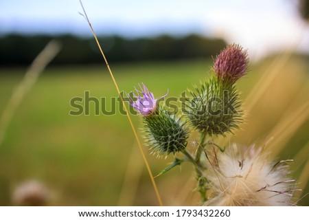 Milk thistle flower in a rural landscape