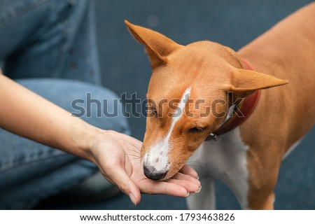 Unrecognizable person, man or woman, hand of owner is feeding beautiful smart hungry dog from arm. Training of Basenji pedigree dog, cute beautiful pet, puppy outdoors. Royalty-Free Stock Photo #1793463826