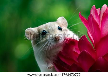 Cute gerbil mouse closeup face, Garbil mouse on red flower