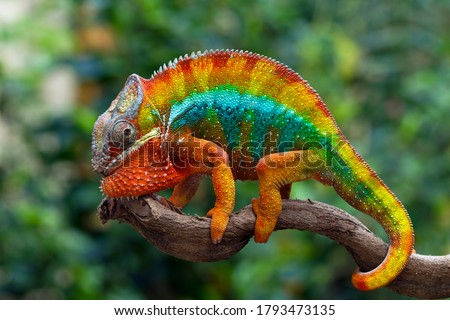 Beautiful of chameleon panther, chameleon panther on branch, chameleon panther closeup Royalty-Free Stock Photo #1793473135