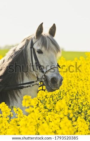 Paso Fino Horse in rape field #1793520385