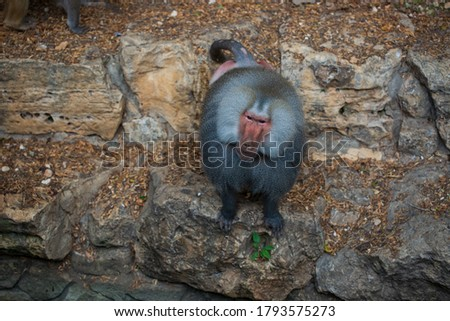 Single baboon (Papio hamadryas) looking straight to camera.