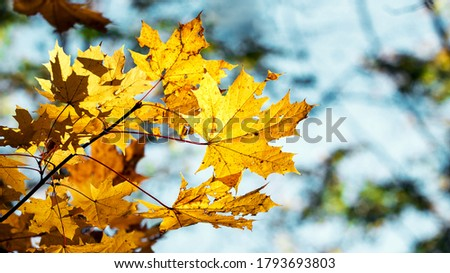 Yellow autumn maple leaves on a background of blue sky