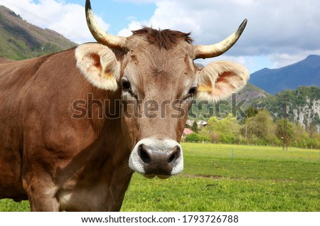 In this picture a cute domestic cow standing & looking to camera, with blur background. Cattle, cows & bulls are the most common type of large domesticated ungulates. It is a rich source of Vitamins..