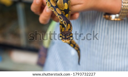 Selective focus, a woman's hand holds a Golden Python baby snake, motion pictures photographed at reptile market.