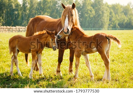 A horse with two foals is eating grass in the pasture. Portrait of horses on the background of nature. Horse breeding, animal husbandry Royalty-Free Stock Photo #1793777530