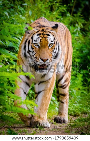 Beautiful picture of Bengal tiger in wild life