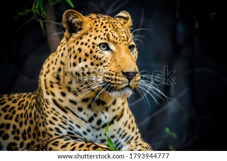 Beautiful picture of leopard in wild life