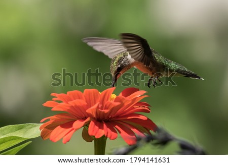 Closeup of juvenile male Ruby-throated Hummingbird feeding on nectar from orange flower in canada.Scientific name of this bird is Archilochus colubris Royalty-Free Stock Photo #1794141631
