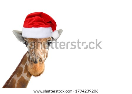 Cute and funny giraffe head in christmas or Santa hat isolated on white background. Funny giraffe portrait isolated. Funny giraffe Santa concept. Banner with copy space.