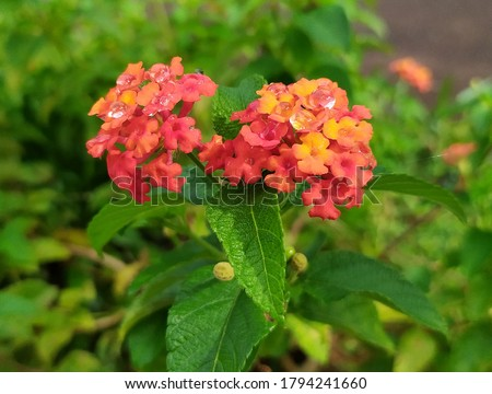 Lantana camara is a species of flowering plant within the verbena family, native to the American tropics. Other common names of L. camara include big-sage, wild-sage, red-sage, white-sage,  #1794241660