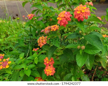 Lantana camara is a species of flowering plant within the verbena family, native to the American tropics. Other common names of L. camara include big-sage, wild-sage, red-sage, white-sage, korsu wiri  #1794242377