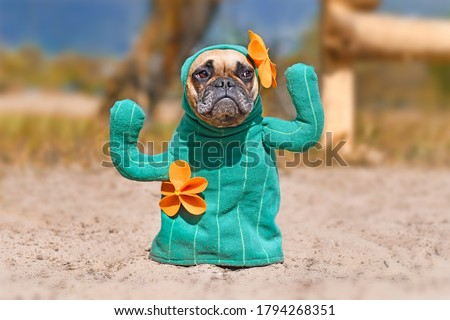 French Bulldog dog dressed up with funny cactus Halloween dog costume with fake arms and orange flowers standing on sandy ground Royalty-Free Stock Photo #1794268351