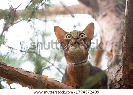 Abyssinian cat in collar, sitting in a tree. High quality advertising stock photo. Pets walking in the summer