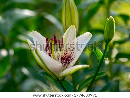 picture with a fragment of a white lily flower on a blurred background, summer garden