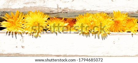 Yellow dandelions grow in the cracks between the boards, a concept of spring. Bright sunlight, close-up, wide view. Top view, flat lay, place for text, copy space.