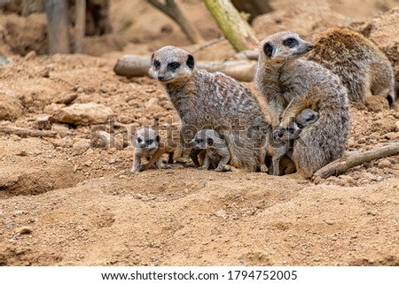 A pair of Meerkats with their baby pups Royalty-Free Stock Photo #1794752005