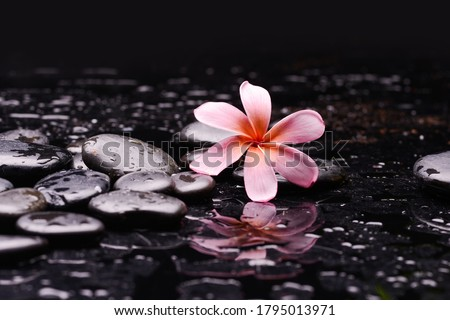 spa still life of blooming three frangipani, closeup with black zen stones