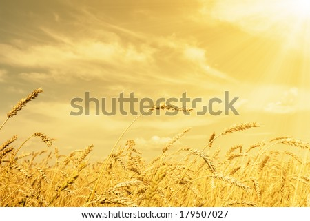 Wheat ears under golden shining and cloudy sky #179507027