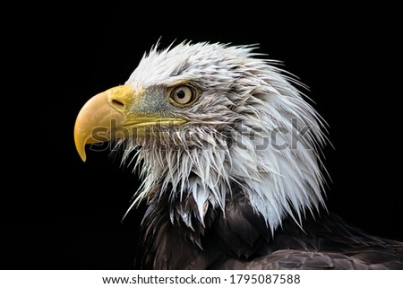 Bald eagle head. American national bird (Haliaeetus leucocephalus) powerful close-up portrait image of this aggressive looking predator. Wet feathers on face in profile isolated on black background. Royalty-Free Stock Photo #1795087588