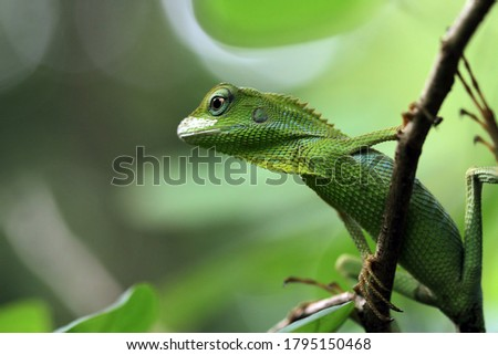 Green lizard on branch, green lizard sunbathing on branch, green lizard  climb on wood, Jubata lizard #1795150468