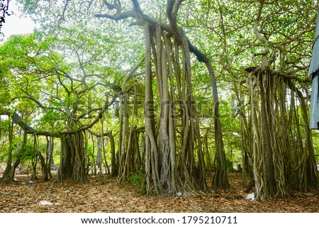 Image of a Banyan tree on Delft Island in Sri Lanka. Image shows picture inside a forest with light coming through the leaves