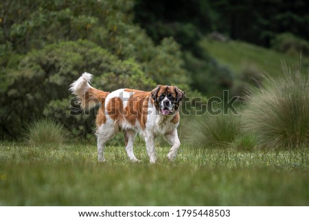portrait of adult saint bernard purebred dog with nature vegetation behind Royalty-Free Stock Photo #1795448503