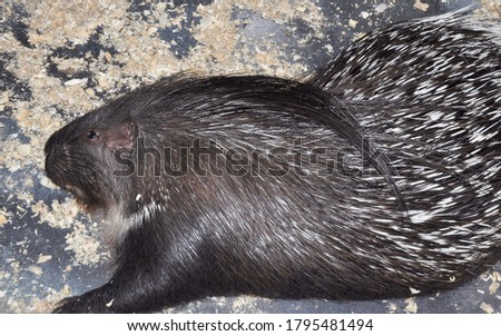Porcupine (Latin. Hystrix) genus of rodents of the Porcupine family (Hystricidae)